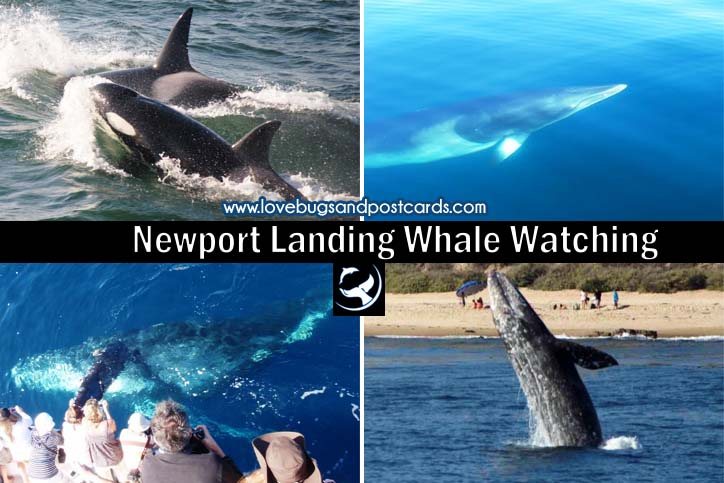 Newport Landing Whale Watching {a Must-do while in California}
