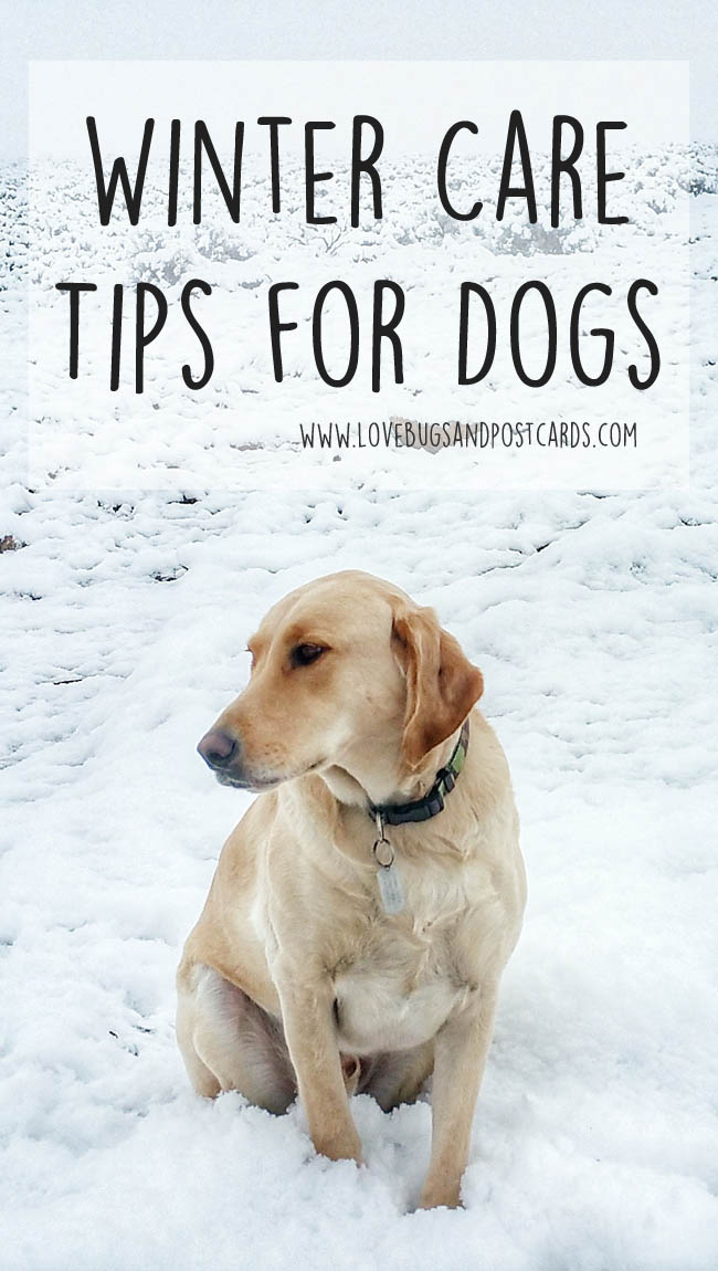Dog Booties and Winter Care Tips