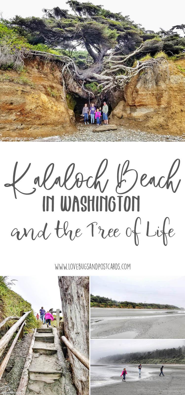 Kalaloch Beach in Washington and the Tree of Life (Tree Cave)