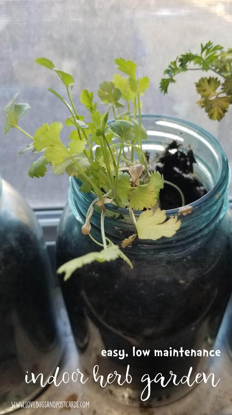 Indoor Herb Garden DIY in mason jars - Cilantro